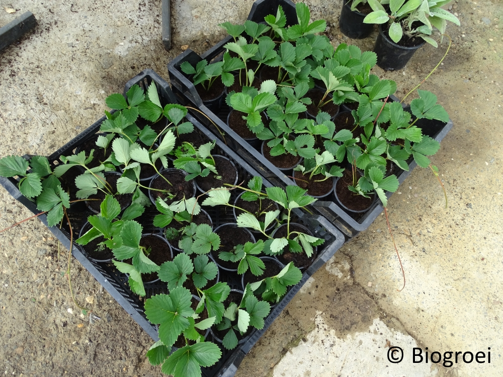 aarbeien planten in pot