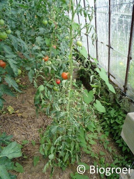 Misvormde tomatenplant