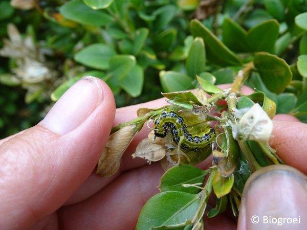 buxusmot larve wegvangen met de hand.