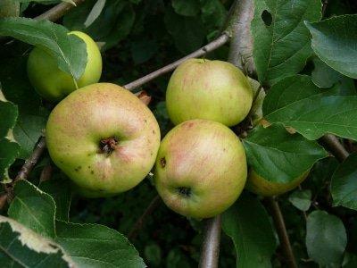 Pomme infectée par un ver.