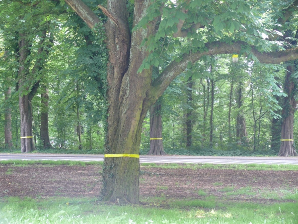 Kastanjebomen beschermt tegen kastanjemineermot