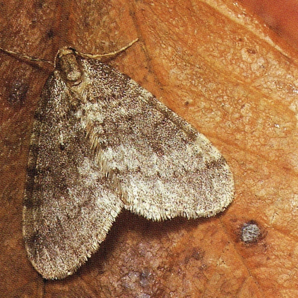 kleine wintervlinder mannetje